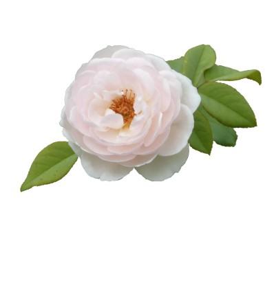 rosa77