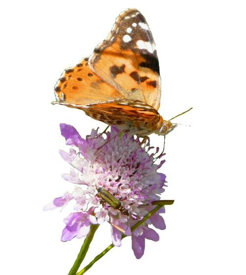 papallona6